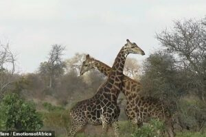 Редкие кадры: В ЮАР сняли на видео жестокую схватку жирафов