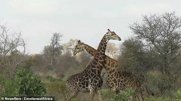 Редкие кадры: В ЮАР сняли на видео жестокую схватку жирафов.Вокруг Света. Украина