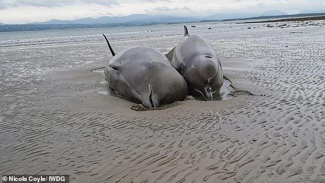 В Ирландии произошло крупнейшее самоубийство китов в истории