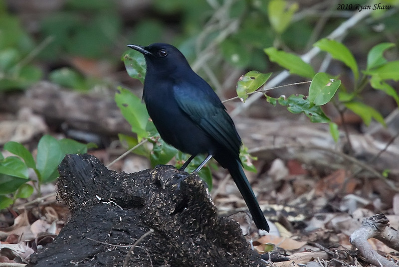 Диджеи записали альбом с песнями редких птиц