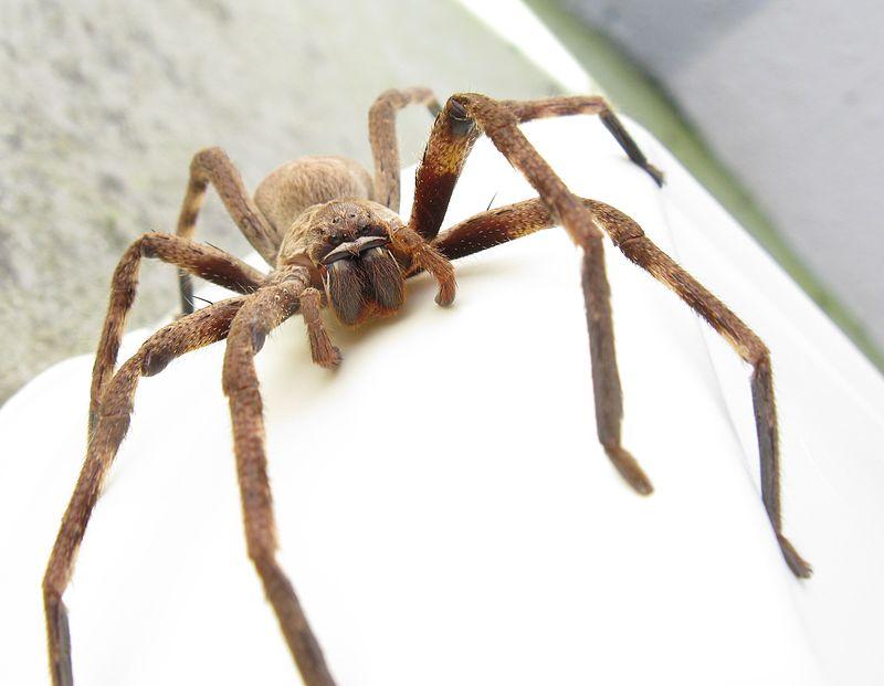 Огромный паук звонил в дверь австралийцу, не давая ему спать (видео).Вокруг Света. Украина