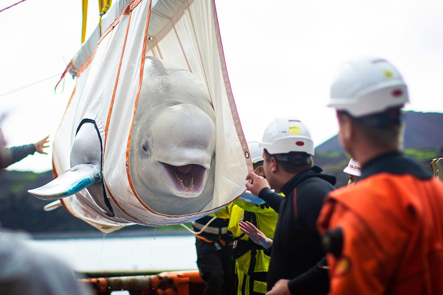 Белух из китайского аквариума выпустили в исландский морской заповедник