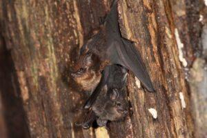 Летучие мыши «сюсюкают» с потомством, совсем как люди