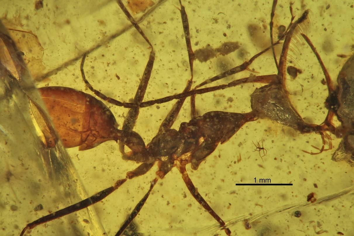Адские муравьи охотились с помощью странных «головных уборов»