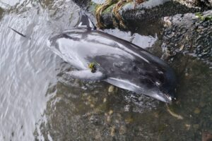 В Индийском океане из-за разлива нефти массово погибли дельфины