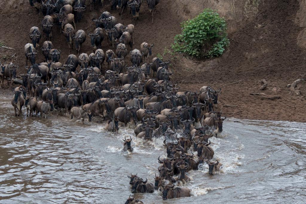 Знаменитая миграция антилоп гну в Кении обойдется без толп туристов