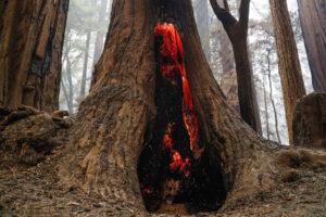 Секвойи в старейшем парке Калифорнии пережили лесные пожары