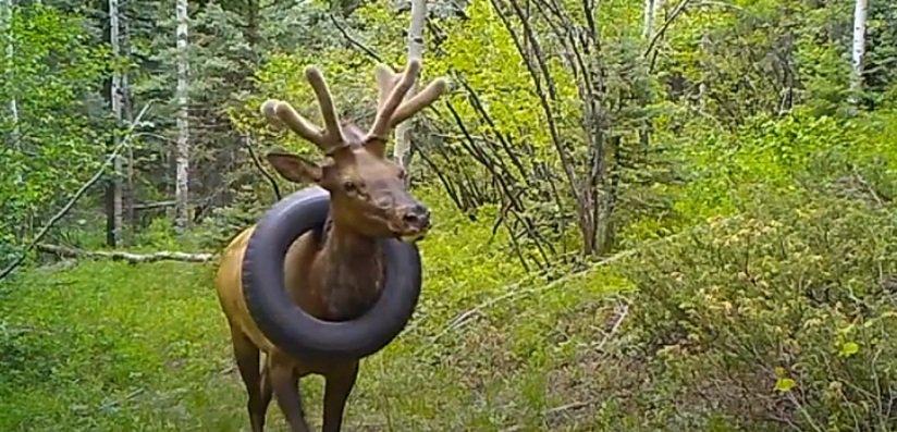 В Колорадо разыскивают оленя с покрышкой на шее