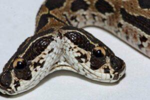 Как накормить двуглавую змею