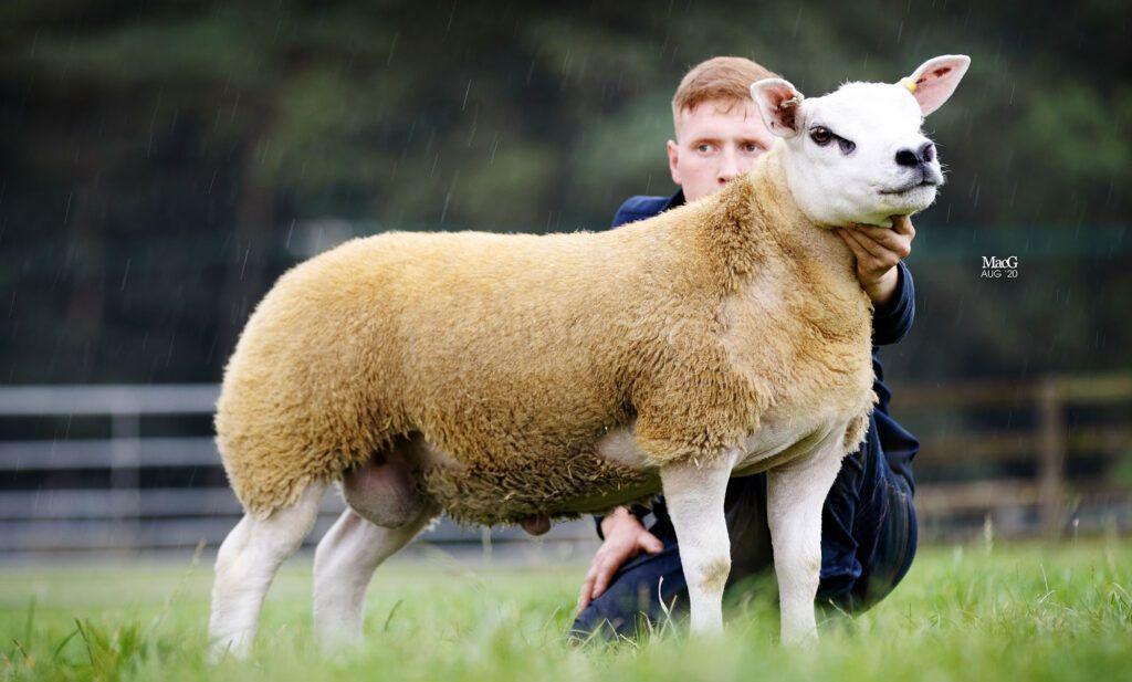 В Шотландии продали самую дорогую овцу в мире