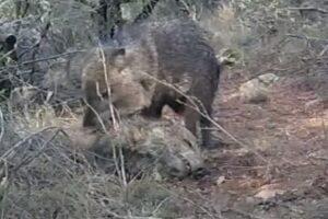 Дикие свиньи-пекари 10 дней скорбели над телом умершего члена стада