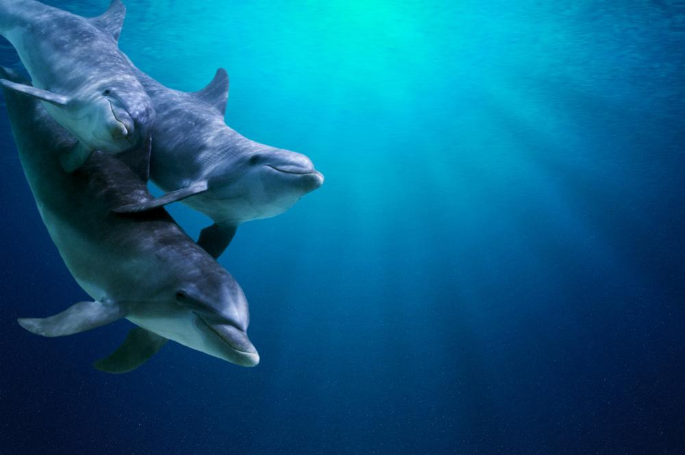 Дельфины угощают друг друга во время ухаживаний