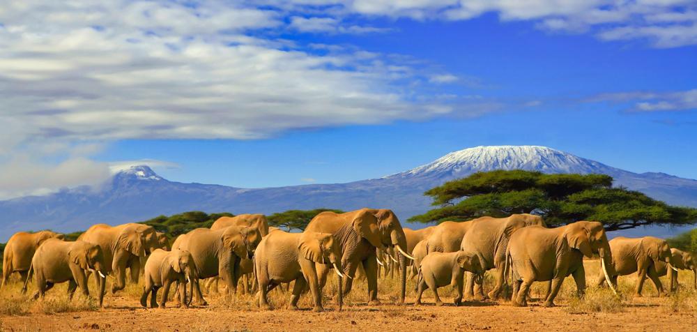 За 40 лет популяция слонов Кении увеличилась вдвое