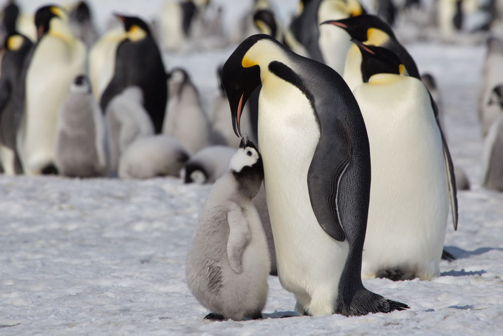 В Антарктике появились новые колонии императорских пингвинов