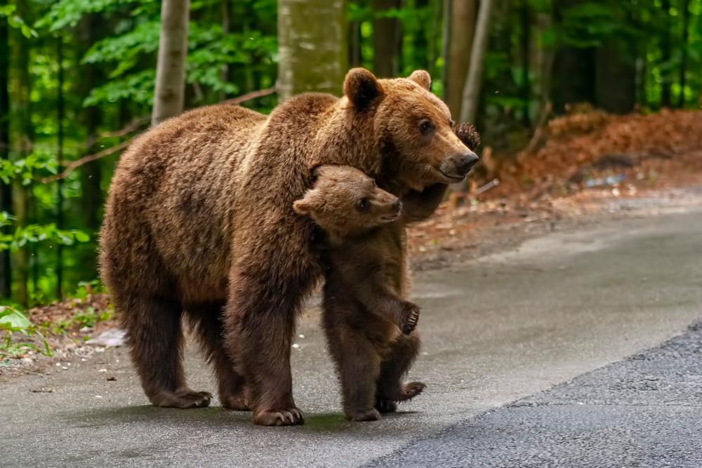 Румыния пытается раздать своих медведей, но никто не берет.Вокруг Света. Украина