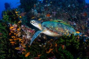 На Бали выпустили в океан 25 черепах, спасенных от браконьеров