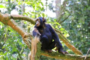Шимпанзе «рассказали» о первых орудиях труда человека