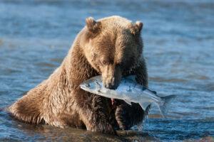 На Аляске нашли самого толстого медведя