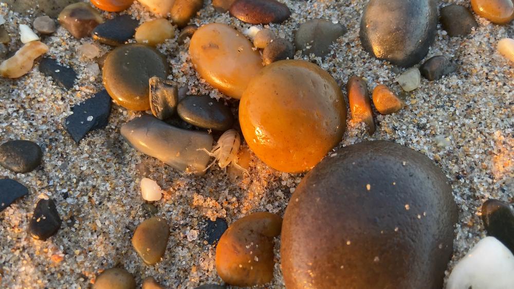 морские блохи в Азовском море