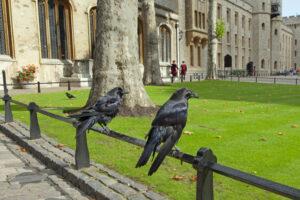 Вороны Лондонского Тауэра заскучали без посетителей