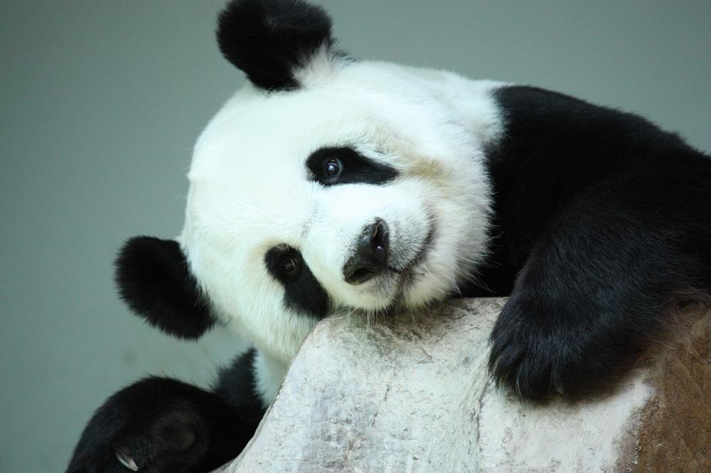 Пока Китай охранял панд, исчезли крупные хищники