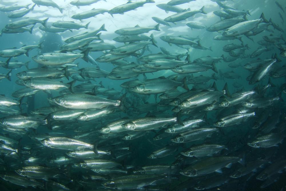 В Шотландии с рыбной фермы сбежали 50 тысяч лососей.Вокруг Света. Украина