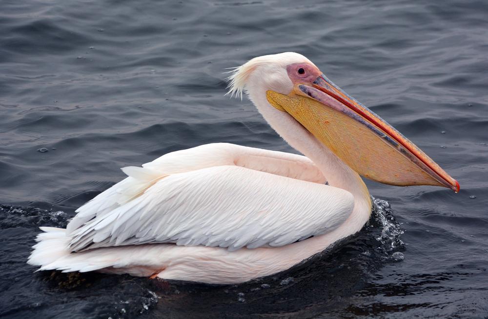 В Кирилловку вернулись розовые пеликаны