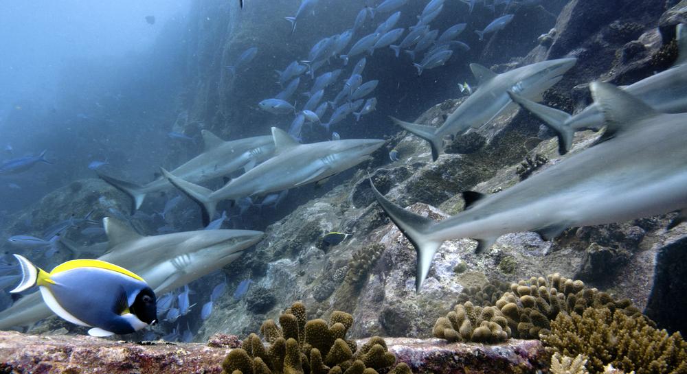 Как дружат акулы: новое исследование