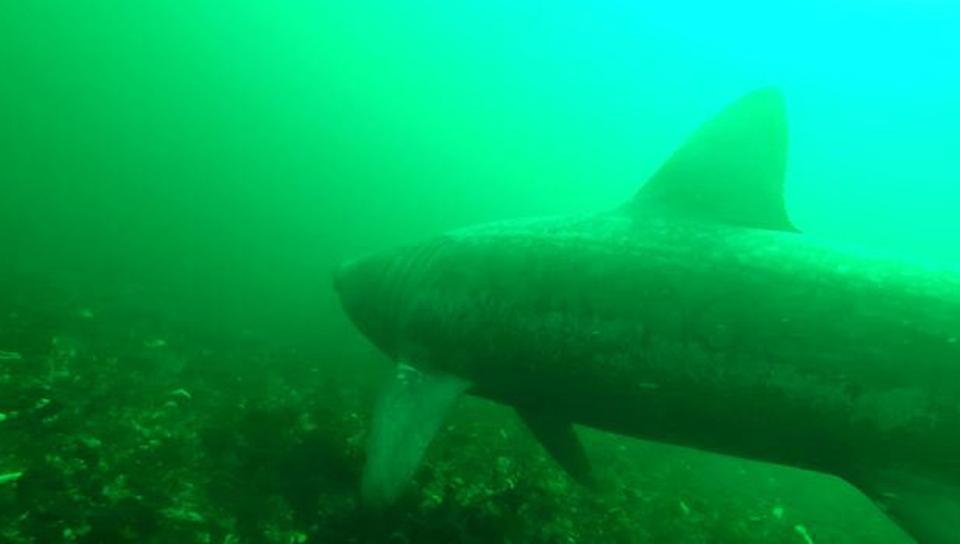 В Шотландии камера-робот впервые сняла гигантских акул
