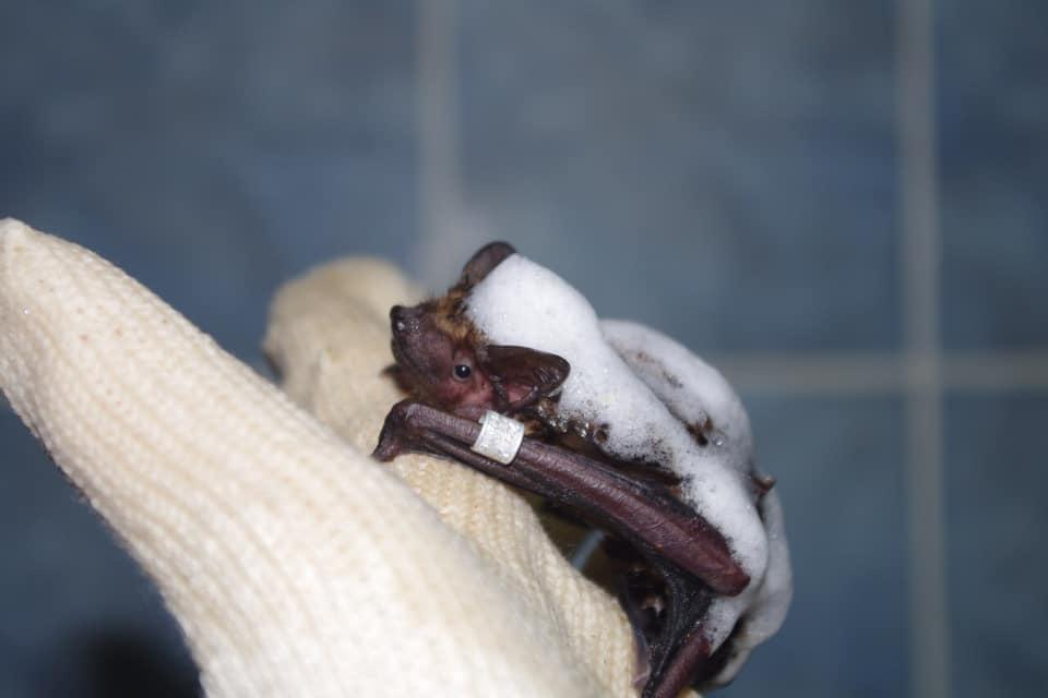При ремонте харьковской больницы убили почти 500 летучих мышей