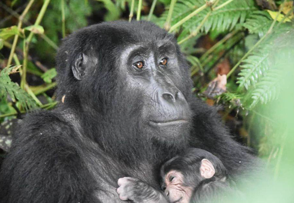 В популяции исчезающих горилл Уганды наблюдается беби-бум.Вокруг Света. Украина