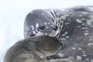 На станции «Академик Вернадский» родился первый тюлененок