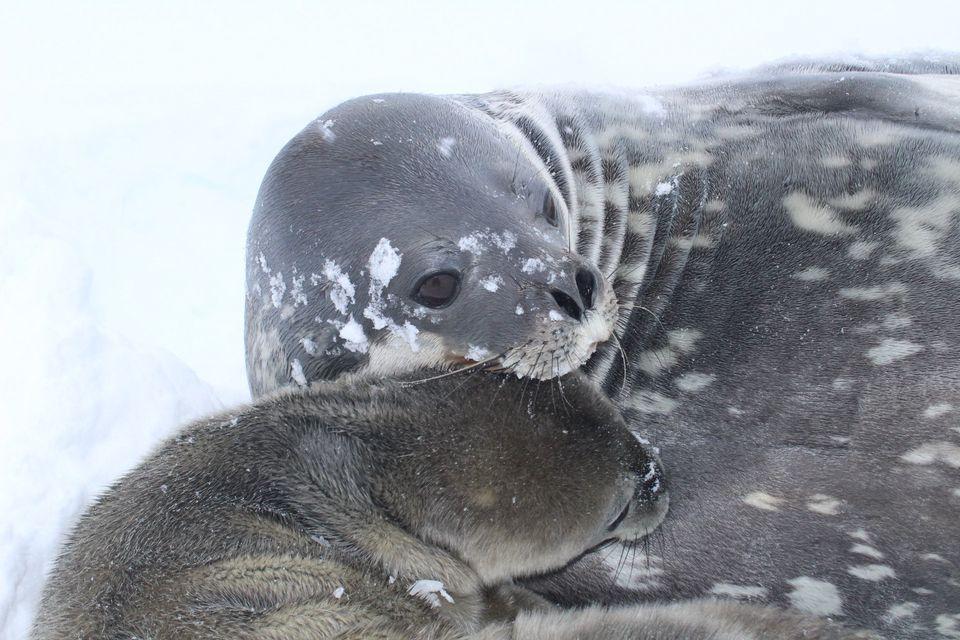 На станции «Академик Вернадский» родился первый тюлененок.Вокруг Света. Украина
