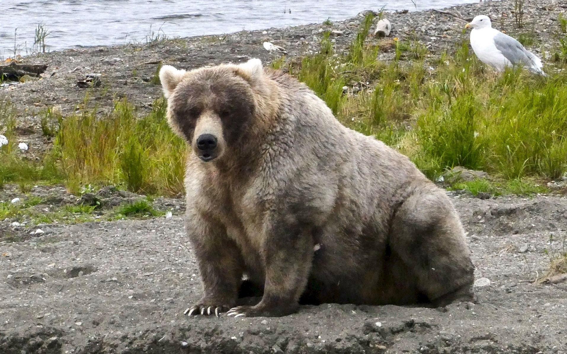 Заповедник Катмай открывает голосование за самого толстого медведя