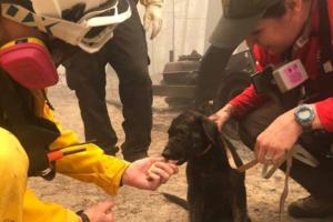 В Калифорнии щенок выжил под руинами сгоревшего дома