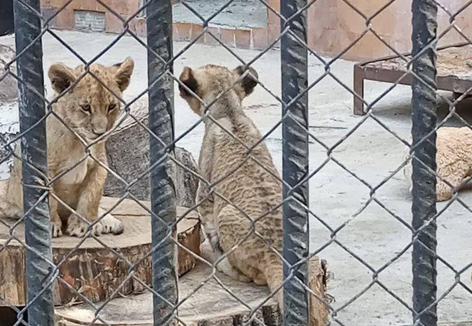 Зоозащитники хотят спасти львят из болгарского зоопарка