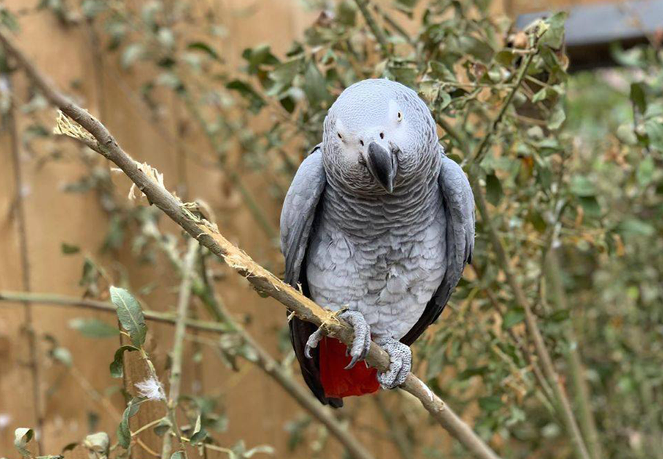 В английском зоопарке попугаев-сквернословов отправили на перевоспитание.Вокруг Света. Украина