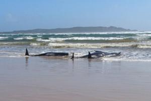 Из 470 гринд, застрявших на мели в австралийском заливе, спасти удалось только 80