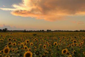 Фермер посадил 2 млн подсолнухов, чтобы порадовать людей в этот трудный год