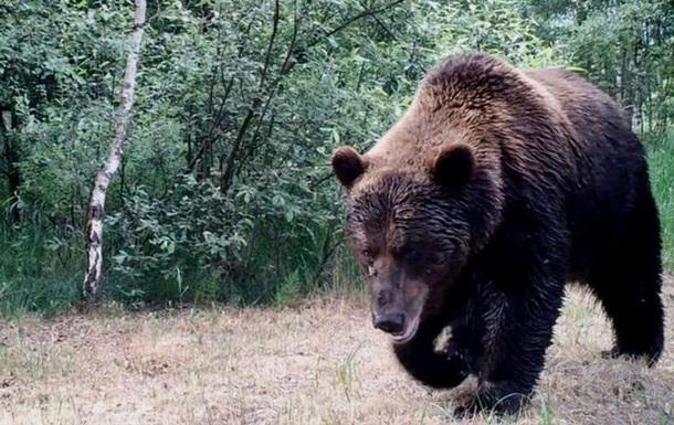 В Чернобыль впервые за сто лет вернулись медведи.Вокруг Света. Украина
