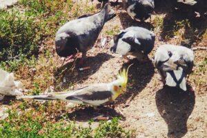 В Киеве попугай прожил два месяца с голубями