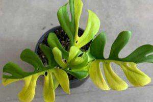 В Новой Зеландии комнатное растение продали за 8000 долларов