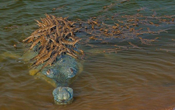Папа-крокодил прокатил на спине сотню детенышей