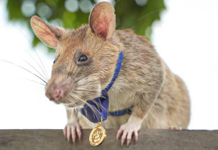Крысу-сапера наградили золотой медалью за верность долгу