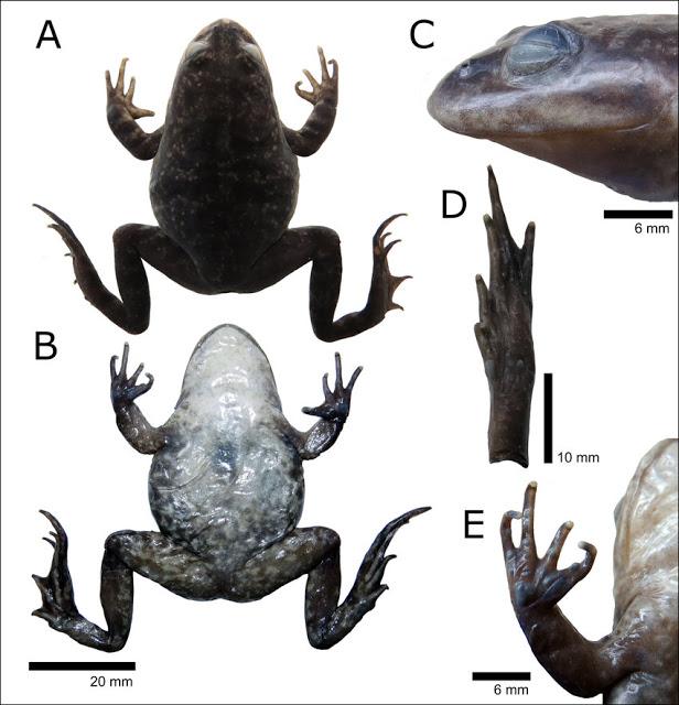 В Чили обнаружили лягушку, потерянную 85 лет назад