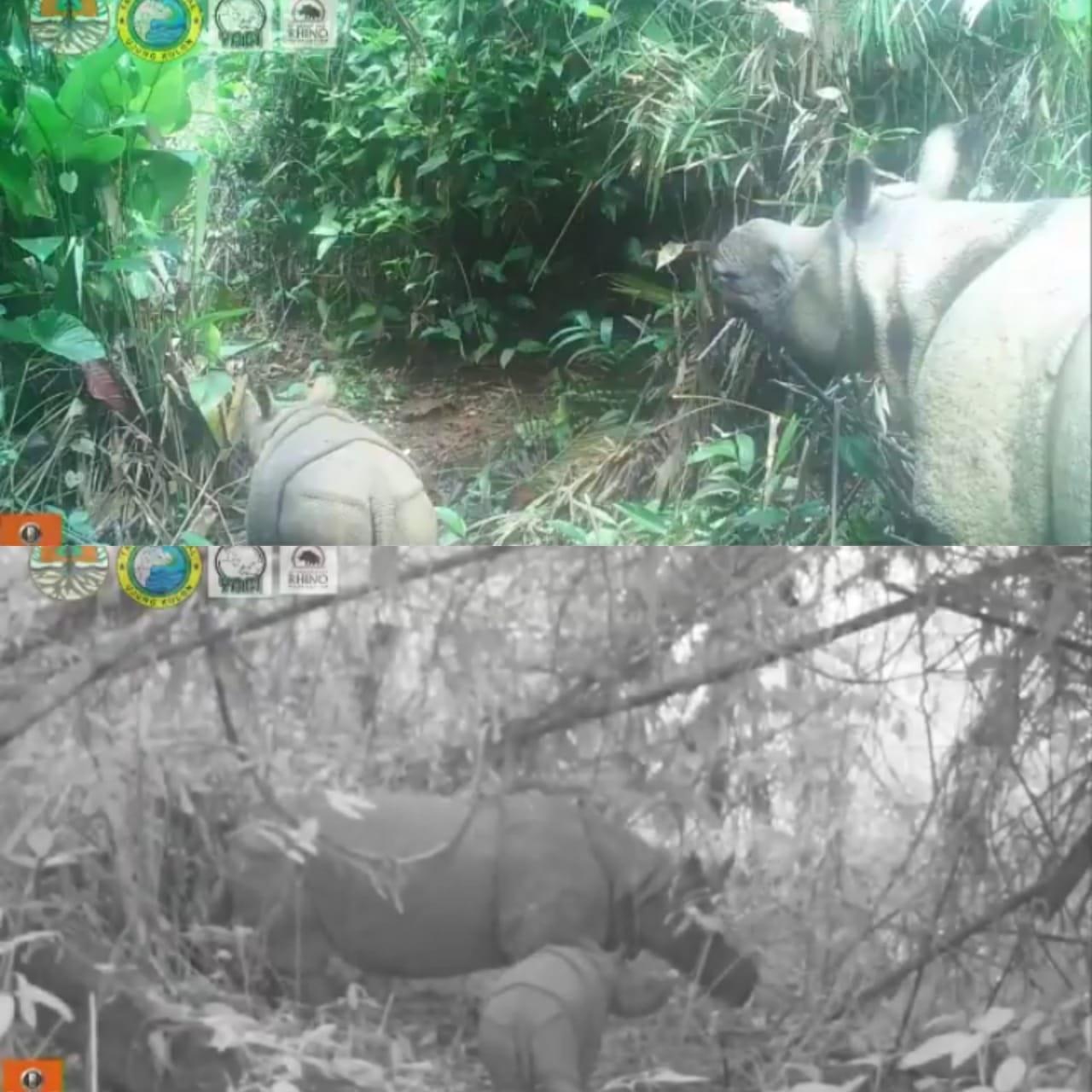 Вселяет надежду: в Индонезии заметили детенышей редкого яванского носорога