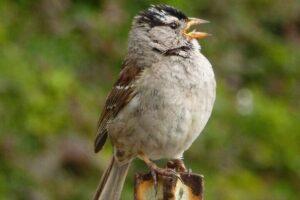 Птицы стали петь красивее благодаря карантину