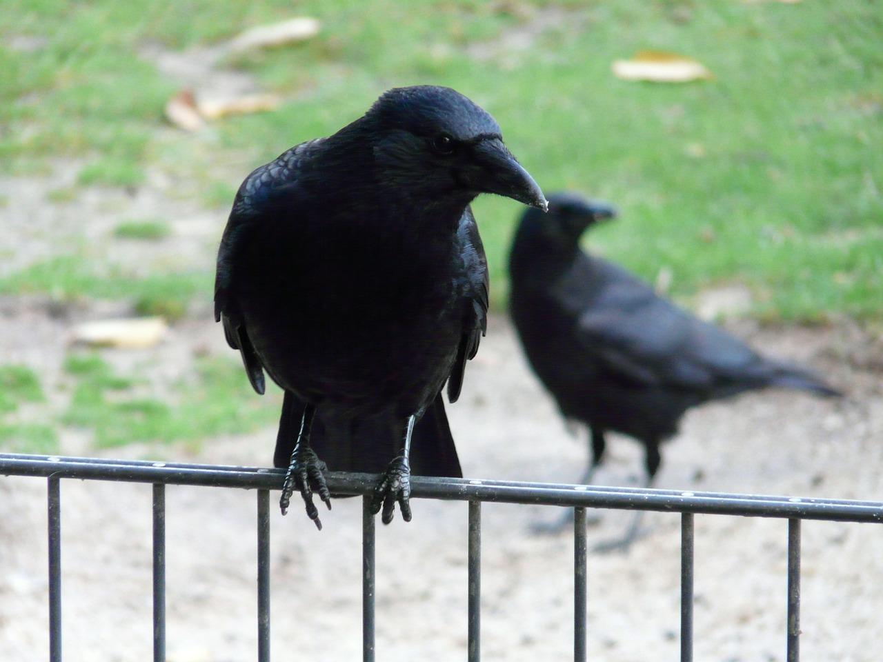 Черные вороны обладают сознанием.Вокруг Света. Украина