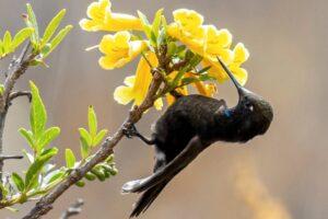 Холодными ночами колибри впадают в анабиоз