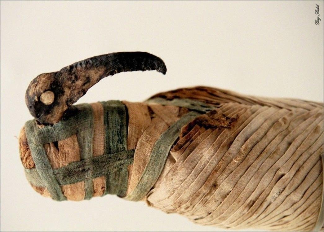 Древние египтяне виноваты в современном сокращении популяции птиц